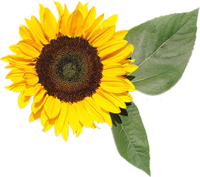 The way the sunflower moves its head to meet the sun makes it a flower of spiritual attainment, flexibility and opportunity. It is a symbol of good luck, wealth and ambition. Give sunflowers to someone who is working toward a goal or needs a big break in their lives.